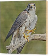 Prairie Falcon Wood Print