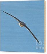 Prairie Falcon In A Dive Wood Print