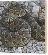 Prairie Rattlesnake South Dakota Badlands Wood Print