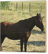 Prarie Stallion In The Shade Wood Print by Barbara Griffin