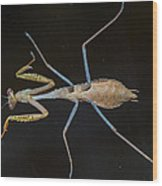 Praying Mantis 4 Wood Print