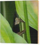 Praying Mantis Peekaboo Wood Print