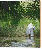 Preening In Tranquil Sunlight Wood Print