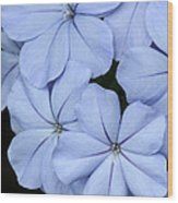 Prettiest Plumbago Wood Print