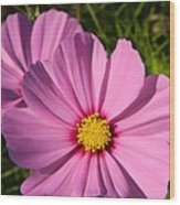 Pretty In Pink Cosmos Wood Print