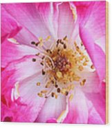 Pretty In Pink Rose Close Up Wood Print