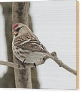 Pretty Redpoll Wood Print