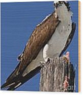 Prey For The Osprey Wood Print