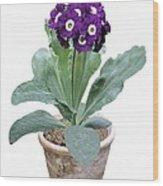 Primula Auricula 'purple Promise' Wood Print