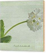 Primula Denticulata Alba Wood Print
