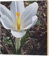 Pristine White Crocus Wood Print