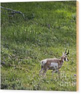 Pronghorn Antelope Among Wildflowers Wood Print