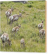 Pronghorn Antelope In Lamar Valley Wood Print