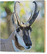 Pronghorn Antelope Portrait Wood Print