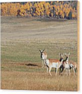 Pronghorn In The Park Wood Print