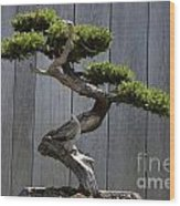 Prostrate Juniper Bonsai Tree Wood Print