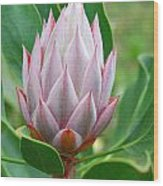 Protea Flower Blossoming Wood Print