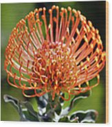 Protea - One Of The Oldest Flowers On Earth Wood Print