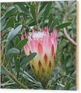 Protea Pride Wood Print