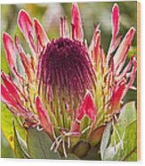 Protea Sugarbush Wood Print