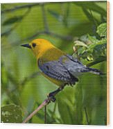 Prothonotary Warble Dsb071 Wood Print