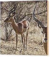 Proud Impala Wood Print