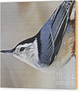 Proud Nuthatch... Wood Print