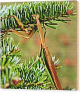 Prying Mantis On The Pine Tree Wood Print