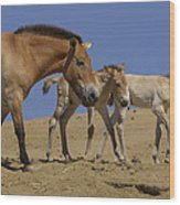 Przewalskis Horse With Two Foals Wood Print