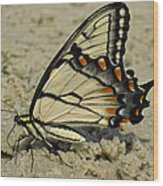 Puddling Eastern Tiger Swallowtail Butterfly Wood Print