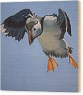 Puffin Landing Wood Print by Eric Burgess-Ray