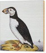 Puffin, Marmon Fratercula, Circa 1840 Wood Print