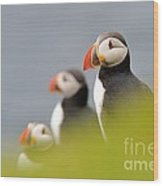 Puffins In Iceland Wood Print