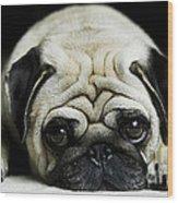 Pug Puppy  Wood Print
