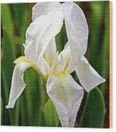 Purely White Iris Wood Print