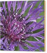 Purple Passion Wood Print