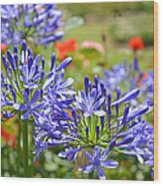 Purple Agapanthas Wood Print