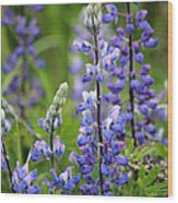 Purple Alaskan Lupines Wood Print