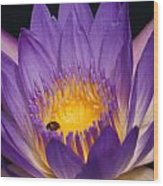 Purple And Bright Yellow Center Waterlily... Wood Print