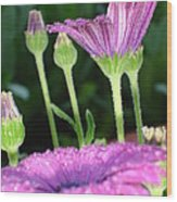 Purple And Pink Daisy Flower In Full Bloom Wood Print