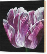 Purple And White Marbled Tulip Wood Print by Rona Black
