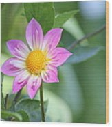 Purple And Yellow Dahlia Wood Print