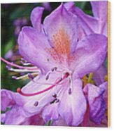 Purple Azalea Wood Print