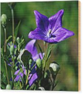 Purple Balloon Flower Wood Print