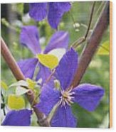 Purple Clematis Clinging On A Fence Wood Print