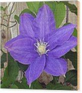 Purple Clematis Full Bloom Wood Print
