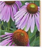 Purple Coneflowers - D007649a Wood Print
