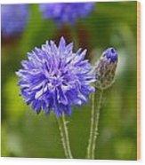 Purple Cornflower Wood Print