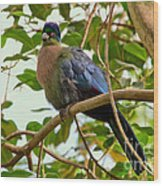 Purple-crested Touraco Wood Print