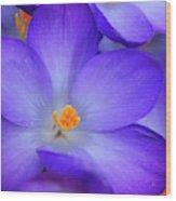 Purple Crocus Close-up Wood Print